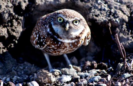 Image of Help Burrowing Owls