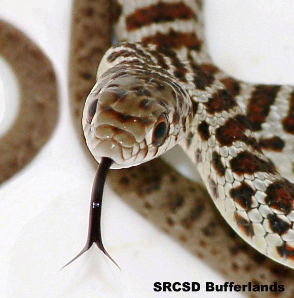 Juvenile Western Racer Snake