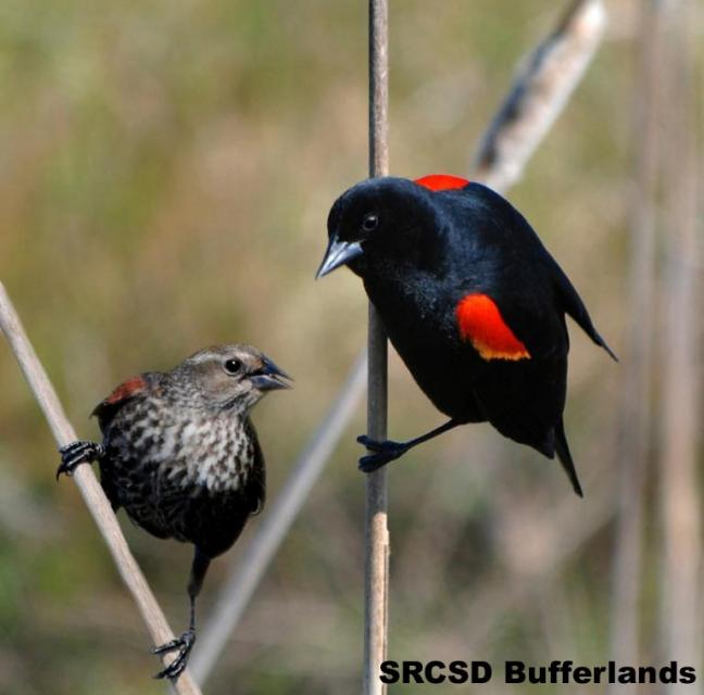 Red-winged Blackbird, Male and Female