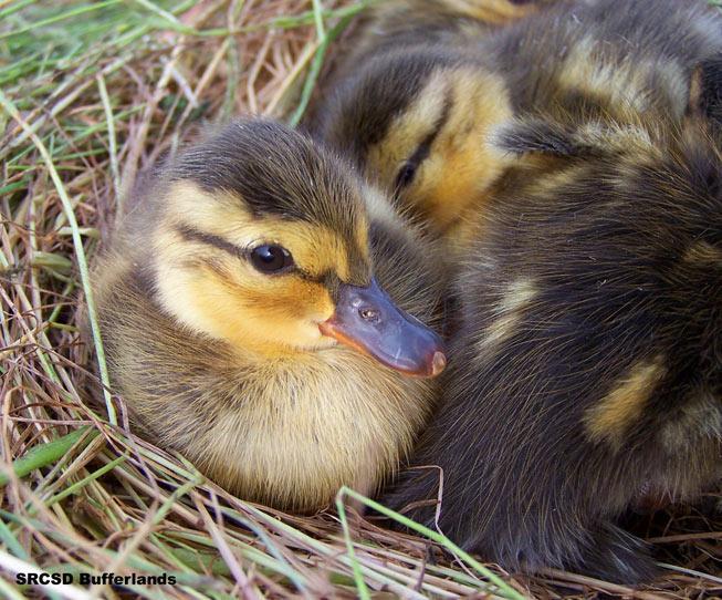 Mallard Chick